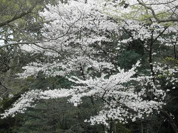 2011桜.JPG